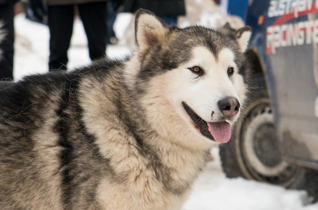 schlittenhunde4