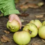 Apfelernte im neuen Heim